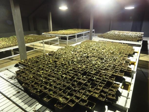 Farm der Birkensetzlinge. Hollocausterinnerungsproduktionsstätte unterm Dach der KunstWerke